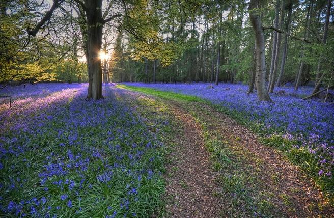 Với sắc tím xanh và mùi hương đặc trưng, loài hoa dại này được xếp vào danh sách những loài hoa đẹp nhất thế giới.