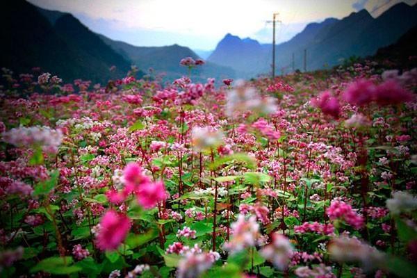 Hoa tam giác mạch rực rỡ khắp Hà Giang