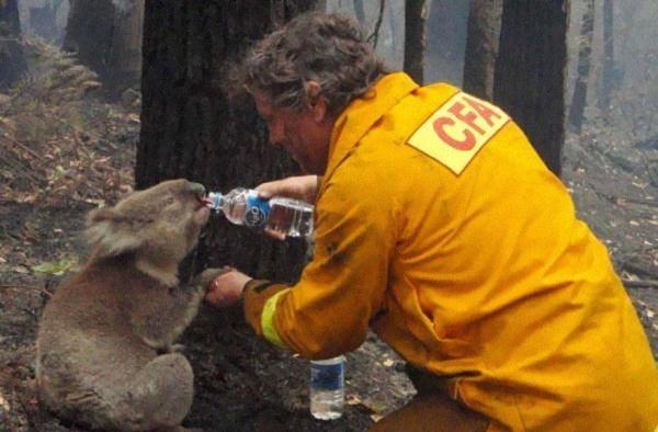Một nhân viên cứu hỏa đang tiếp nước cho một chú koala trong một vụ cháy rừng vào ngày thứ bảy đen tối của tiểu bang Victoria, Úc vào năm 2009