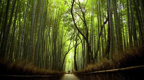 Hàng nghìn cây tre cao vút, thẳng đứng. Ảnh: Nexttriptourism.