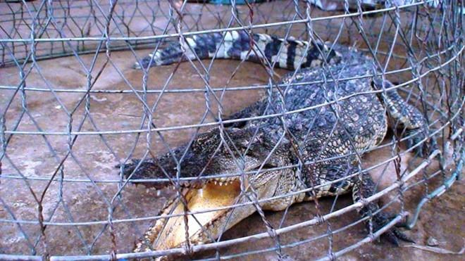 Cá sấu dài khoảng 1m, nặng 20kg do một nông dân ở Củ Chi bắt giữ.