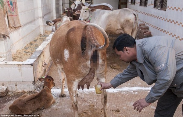 Nước tiểu bò phải được lấy vào trước lúc mặt trời mọc thì mới tốt.