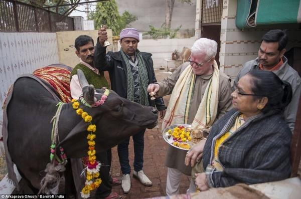 Uống nước tiểu bò được cho là phương thức chữa bách bệnh.