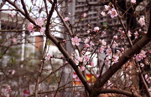 Đào rừng mang không khí Tết tưng bừng xuống Thủ đô