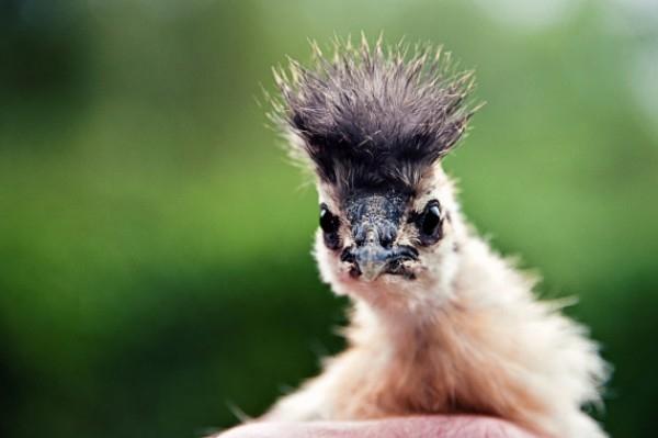 Ngộ nghĩnh gà Silkie với bộ lông xù cực đáng yêu