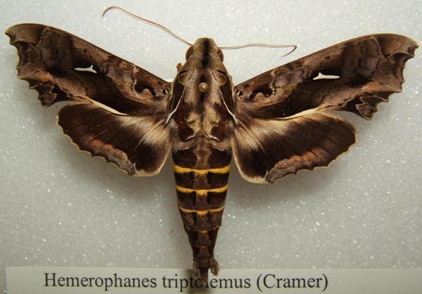 Lạ lùng ấu trùng bướm có thân hình giống loài rắn