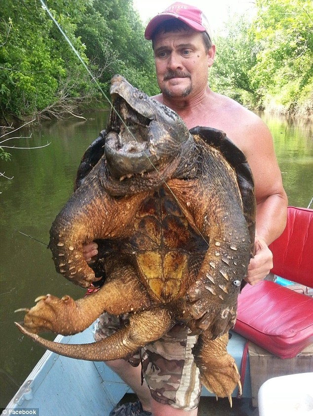 Choáng với cụ rùa cá sấu dữ tợn nặng hơn 45 cân