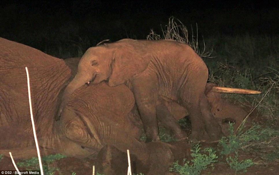 Hình ảnh voi con thức trắng bên cạnh thi thể voi mẹ, tại Samburu, miền Bắc Kenya