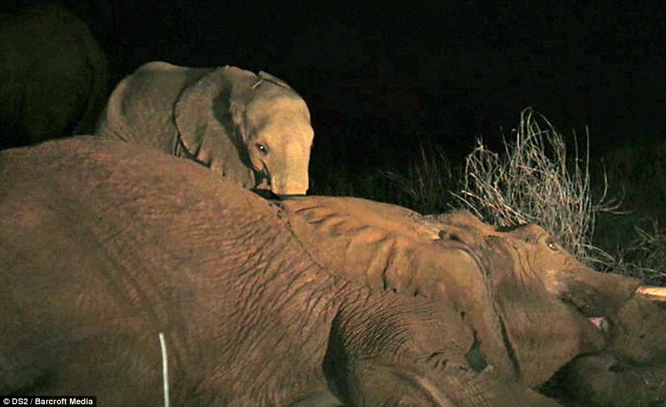 Cảm động voi con vẫn kiên trì bên cạnh khi voi mẹ đã qua đời