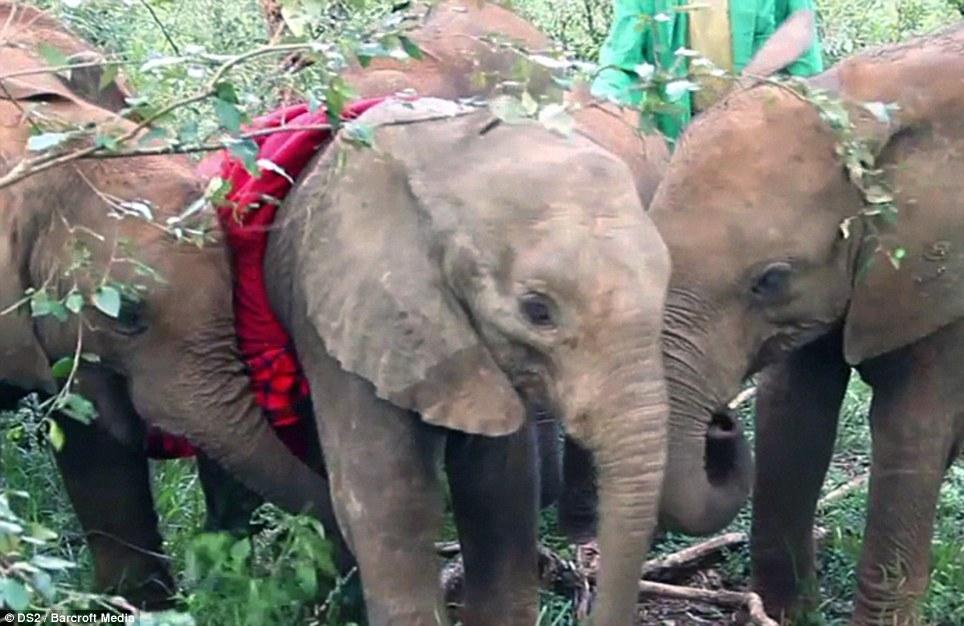 Và mặc dù hơi bỡ ngỡ trong môi trường lạ, không lâu sau chú voi con đang đau buồn đã kết thân với những người bạn mới .