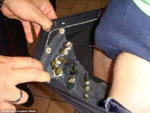 Bị bắt giữ vì buôn lậu 66 con chim nhỏ... trong quần