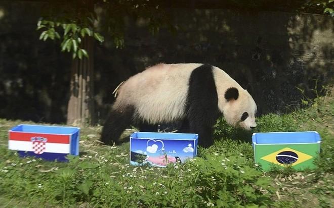 Tại vườn thú thành phố Yangzhou, Trung Quốc, gấu trúc khổng lồ Ying Mei chọn Brazil thắng trong trận khai mạc trước Croatia.