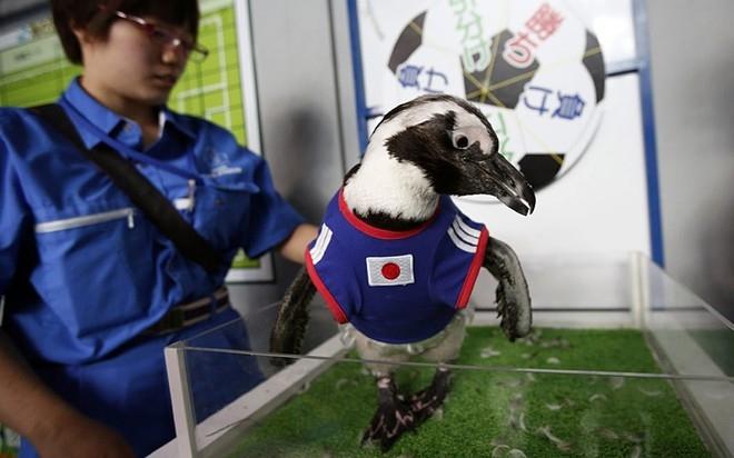 Chú chim cánh cụt hai tuổi Aochan mặc áo đấu của đội tuyển Nhật Bản trong lễ dự đoán trận Nhật Bản - Bờ Biển Ngà.