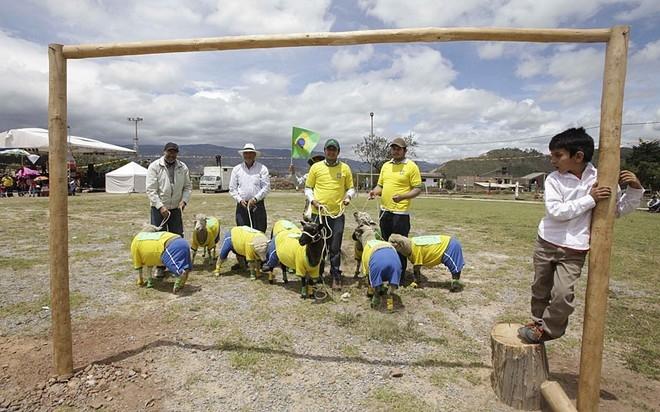 Những chú cừu được cho mặc quần áo đội tuyển Brazil chuẩn bị cho trận đấu cừu Colombia - Brazil diễn ra tại Nobsa, Colombia. Trận đấu này là một hoạt động kỷ niệm ngày lễ của những người nuôi cừu lấy lông ở địa phương.