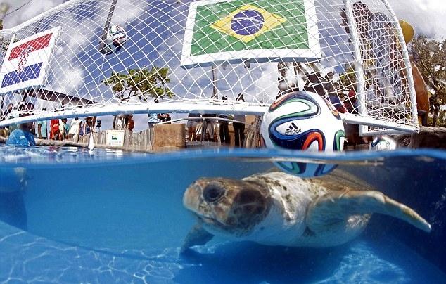 Sau khi dự đoán đúng chiến thắng của Brazil trong trận gặp Croatia, chú rùa đầu lớn sai khi chọn Mexico thắng Brazil ở trận thứ hai. Kết quả thực tế là hòa .