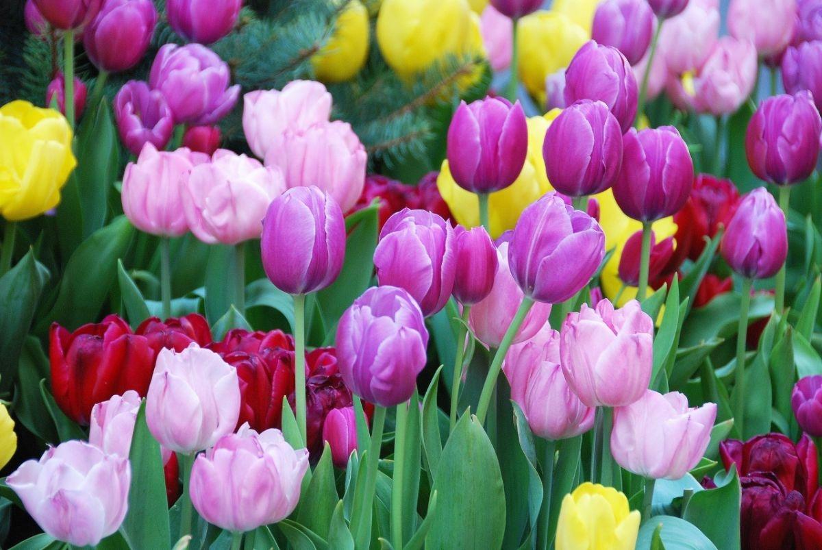 Hà Lan, xứ sở của hoa Tulip