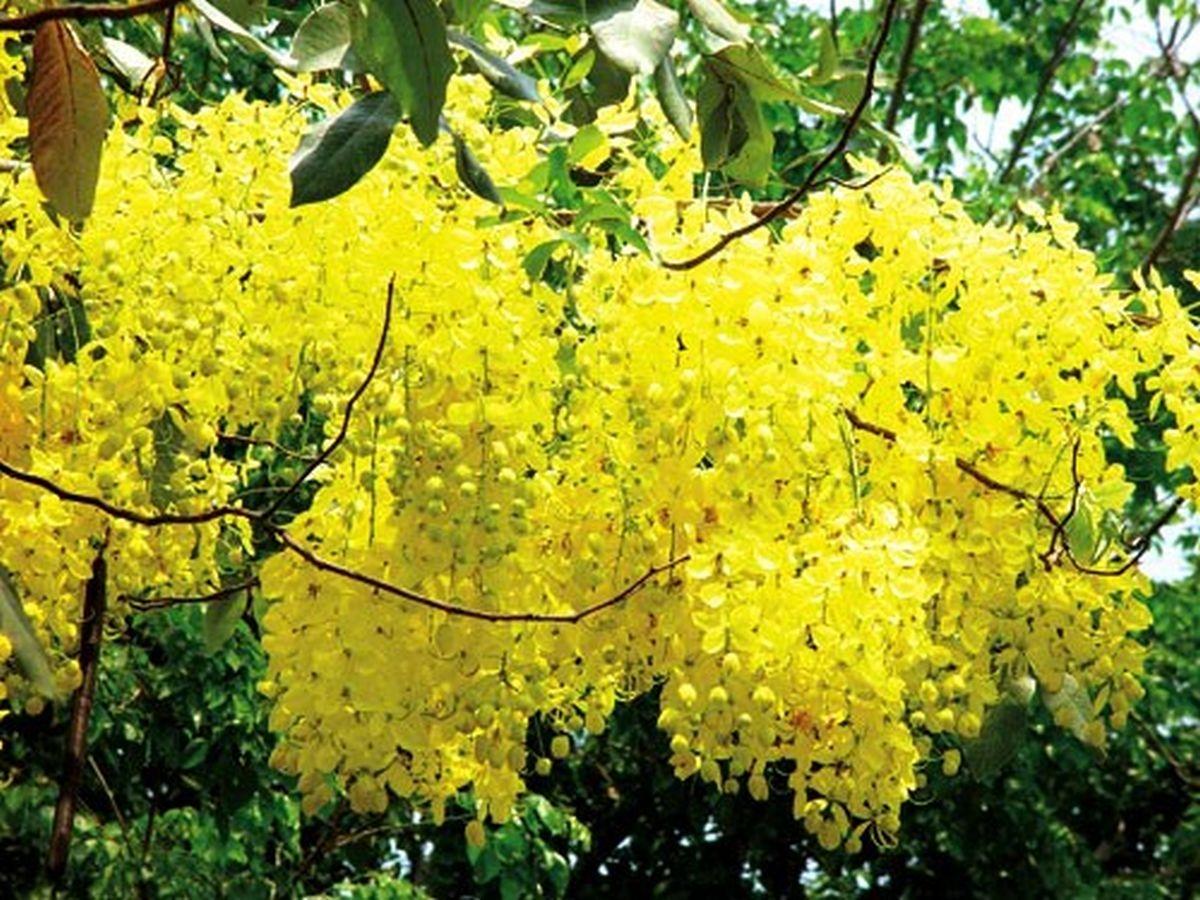 Hoa muồng hoàng yến, sắc vàng tâm linh của xứ sở chùa vàng Thái Lan