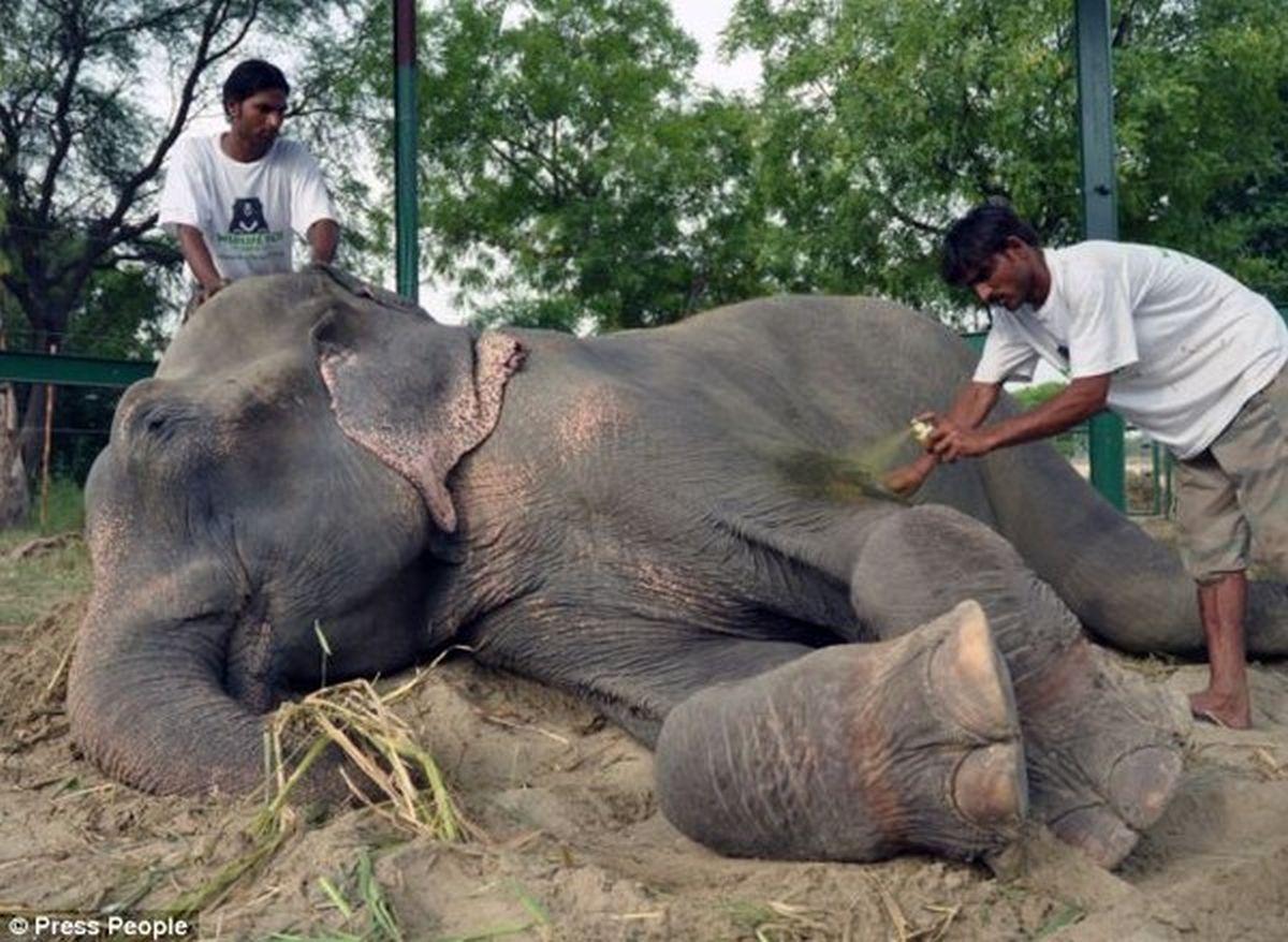 Raju nằm ngoan ngoãn để các chuyên gia điều trị các vết thương
