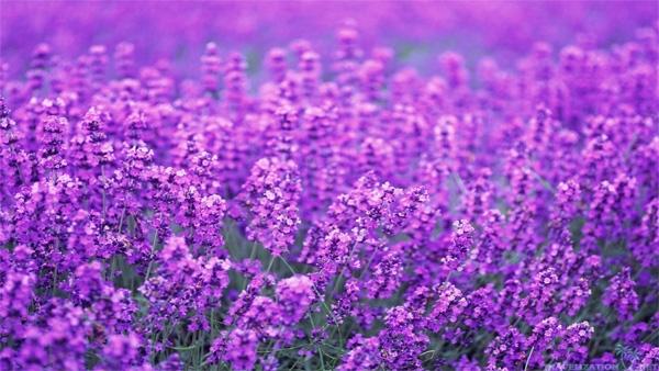 20140718-0634-50939909_lavender11.jpg