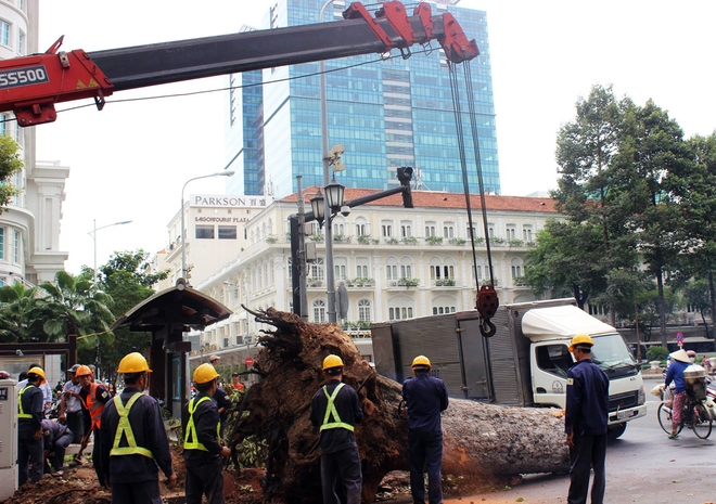 Nhiều người dân tỏ ra tiếc nuối khi thấy những cây cổ thụ hàng chục năm tuổi, đường kính 50-60 cm, cao hàng chục mét bị chặt.