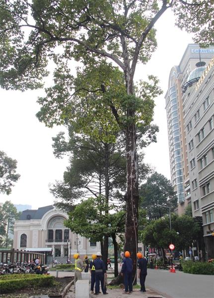 """""""Thành phố rồi sẽ hiện đại, giao thông thuận tiện hơn nhưng dù sao cũng tiếc những cây cổ thụ này quá. Chúng gắn bó với người dân ở đây hàng chục năm rồi. Chúng làm cho Sài Gòn đẹp hơn, có hồn hơn rất nhiều nếu sau này chỉ toàn nhà cao tầng, công trình hiện đại"""", bà Hương, cán bộ về hưu tại quận 1, tiếc rẻ."""