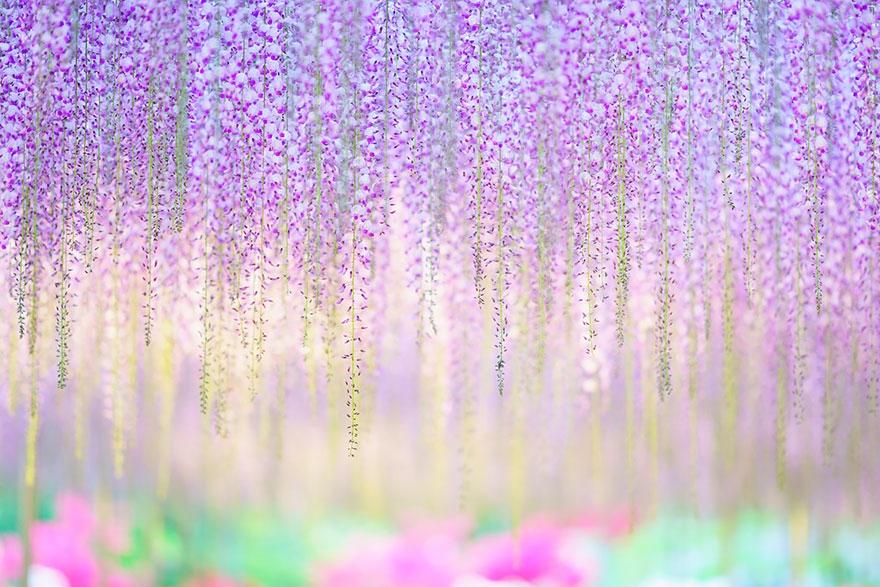 Ngỡ ngàng với cây hoa tử đằng 144 tuổi đẹp như cổ tích