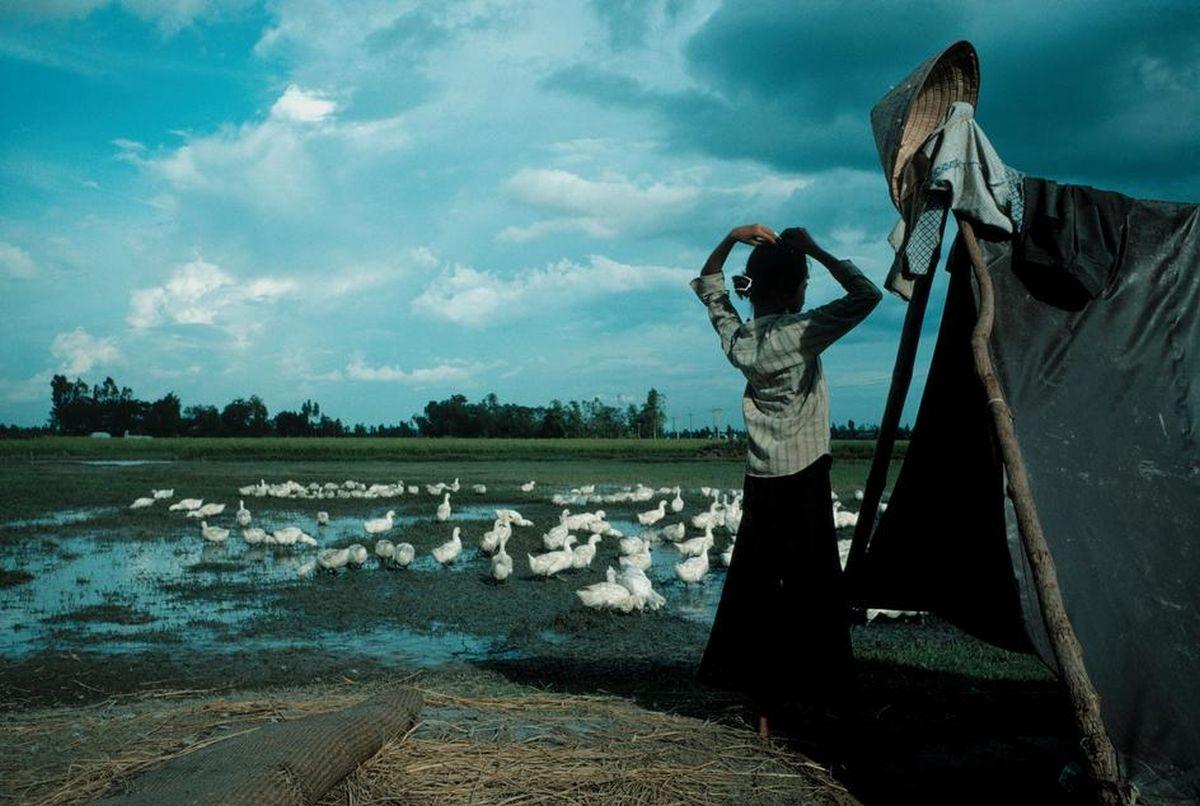 Một người phụ nữ ởĐồng bằng sông Cửu Long với đàn vịt