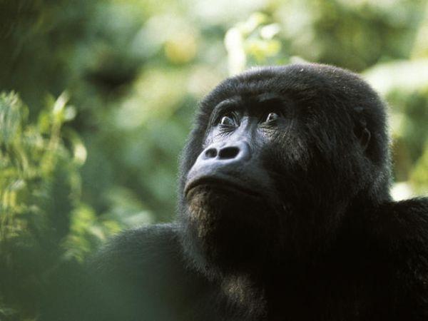 Vượn gorillađang có nguy cơ tuyệt chủng, nhưng nó lại là món ăn truyền thống của một số nền văn hóa Châu Phi