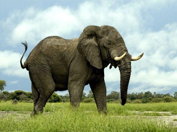 Voi hay bị săn bắn để lấy ngà, nhưng tại một số nước Châu Phi, voi còn bị bắt để lấy thịt. Một chú voi trưởng thành có thể đem về hơn nửa tấn thịt.