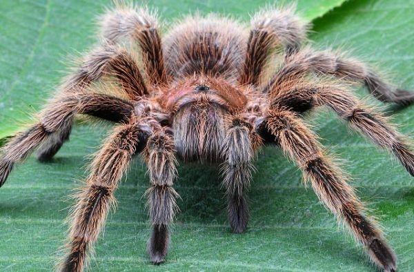 Loài nhện Tarantula lại là mộtmón chiên giòn yêu thích ở Campuchia