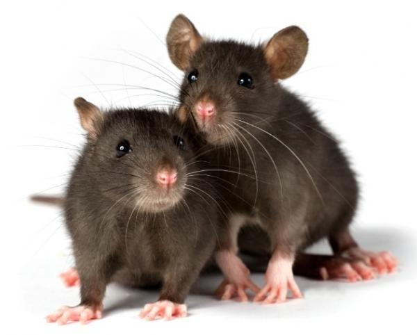 Thịt của loài động vật gặp nhắm này được chứng minh chứa hàm lượng lớn protein. Chuột dùng làm món ăn tại các nước Đông Nam Á như Việt Nam, Lào, Campuchia