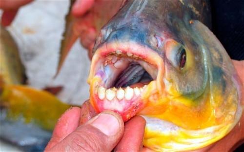Loài cá có nguồn gốc từ Nam Mỹ, với đặc điểm tấn công bộ phận sinh dục ở nam giới, mới được nhìn thấy ở Nga.