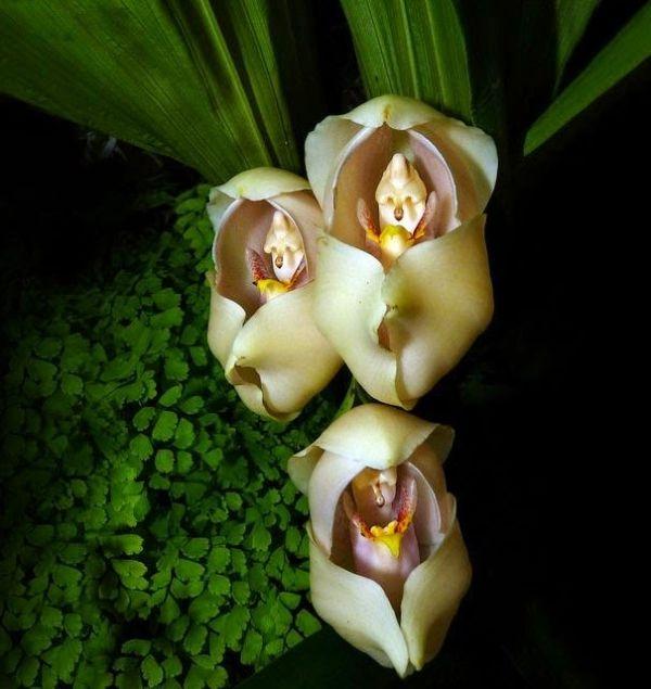Hoa có hình dạng những em bé sơ sinh nằm trong nôi