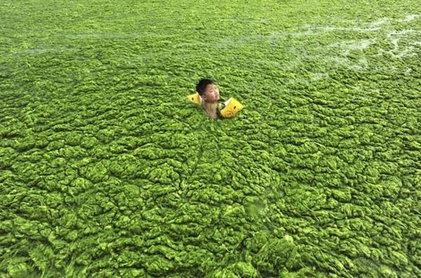 Một cậu bé đang lội trong dòng nước bị bao quanh bởi đám tảo lục khổng lồ tại thành phố Thanh Đảo, tỉnh Sơn Đông