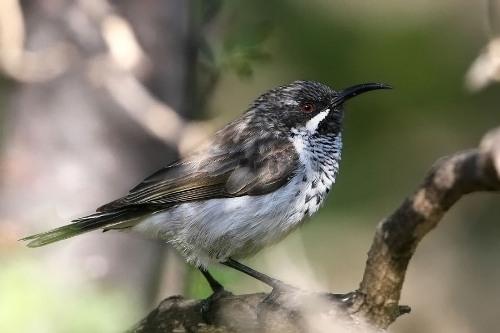Loài chimSunbird Socotra