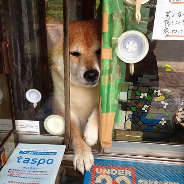 """""""Anh nhân viên bán hàng"""" này có tên làShiba - Inu"""