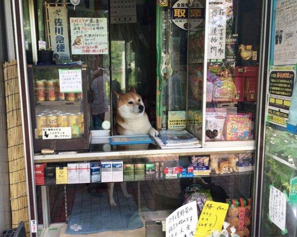 Vì cóShibanên cửa hàngSuzukinổi tiếng khắpNhật Bảnvà cả trên thế giới, nhiều du khách có dịp đếnNhật Bảnđều tìm đến cửa hàng để được gặpShiba
