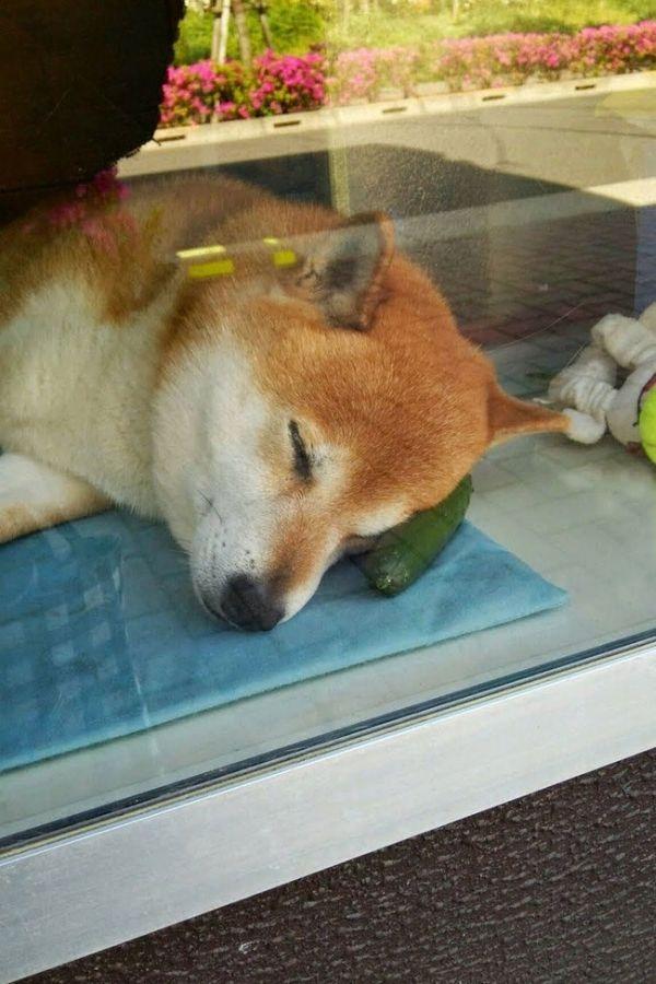 Gặm chán chê rồi lại lấy gối đầu ngủ
