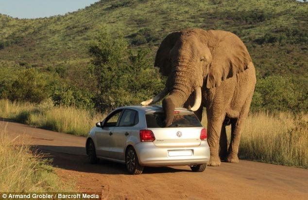 Voi bất ngờ tiếp cận xe của du khách