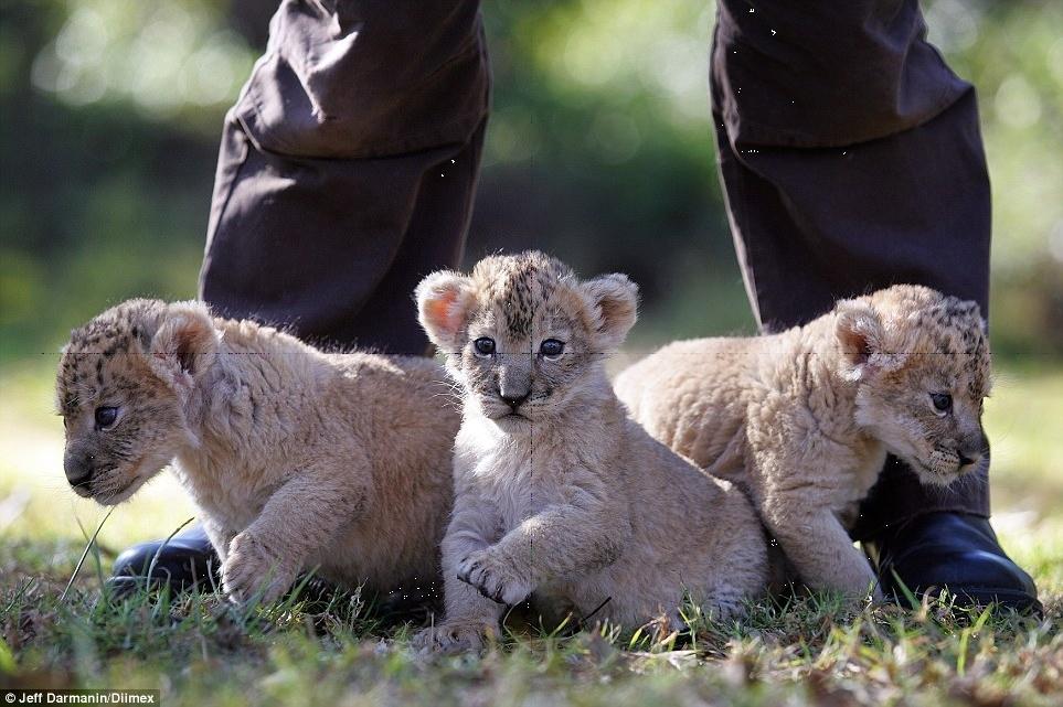 Anh chàng can đảm nhận nuôi 3 chú sư tử con