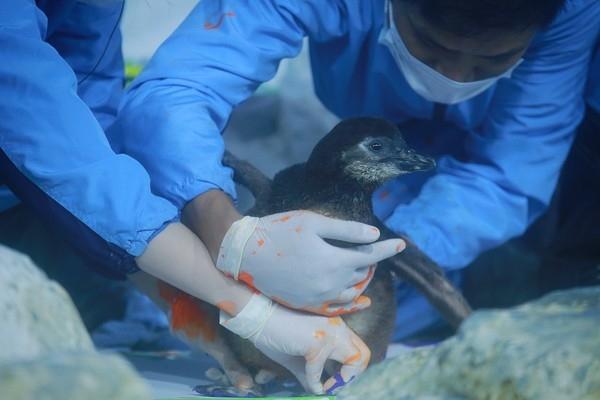 Cận cảnh chú chim cánh cụt đầu tiên được sinh ra tại Việt Nam