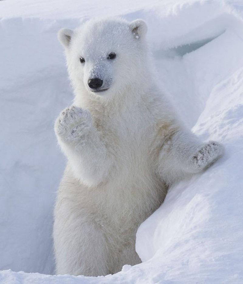 Bé gấu Bắc cực tự tin tạo dáng trước ống kính