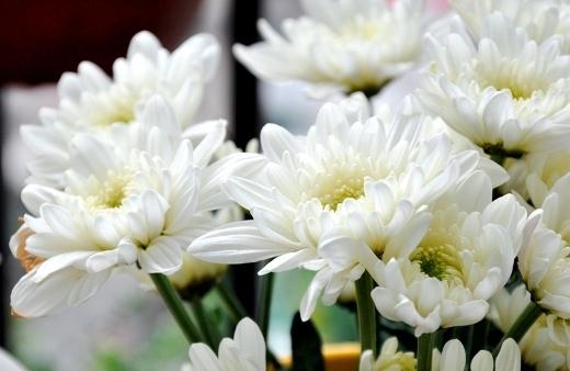 Bí quyết làm đẹp từ những cánh hoa cúc