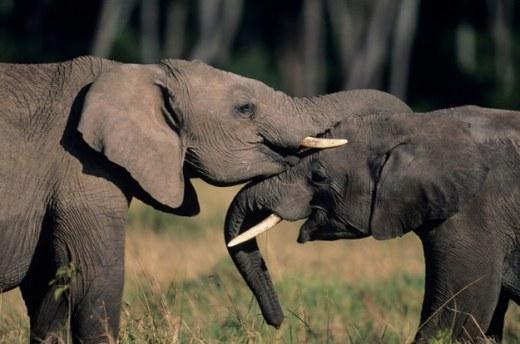 Những bài học quý giá chúng ta cần phải học hỏi từ loài voi