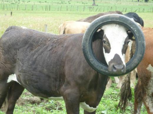 Những chú bò tò mò nhất quả đất