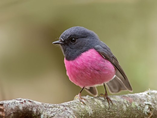 Chú chim hồng đáng yêu