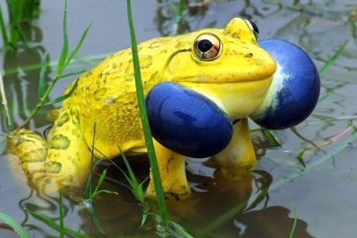 Chú ếch vàng nhìn khá đáng sợ dù mang màu sắc sặc sỡ