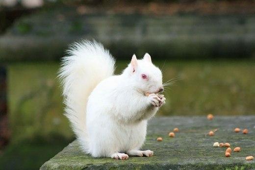 Chú sóc bị bạch tạng nên có màu trắng khác thường