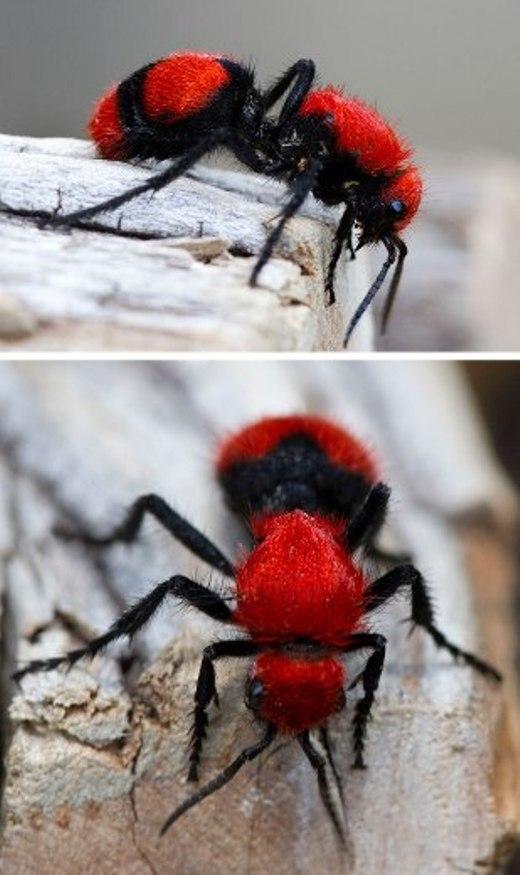 Màu đỏ rực rỡ khiến chú kiến tí hon trông có vẻ hung tợn và nguy hiểm hơn