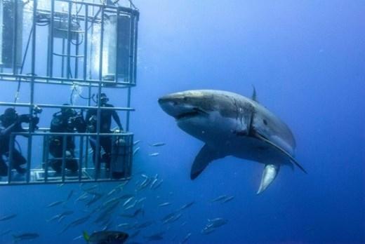 3. Lặn cùng cá mập (Mexico): Không phải ai cũng dám giải trí bằng cách bơi cùng cá mập sát sạt. Nhưng đối với những người thích du lịch mạo hiểm thì lại khác, và khu vực biển Isla Guadalupe sẽ là một trong những nơi thích hợp nhất trên thế giới để lặn xuống sâu chơi với cá mập trắng. Tất nhiên là cá mập bên ngoài, còn bạn ở trong lồng.